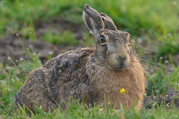 2014-05-24 Morgontur 05, hare