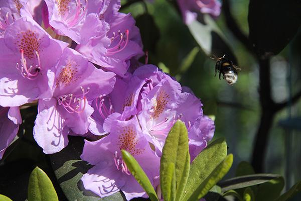 Bror Siira_Humlan pollinerar för fullt