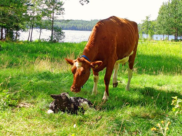 Johanna Albinsson: Nyfödd kalv