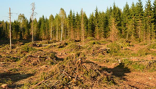 Här fanns en underbar trollskog med högstammiga granar som växte på mark full med mossa, men inte nu längre