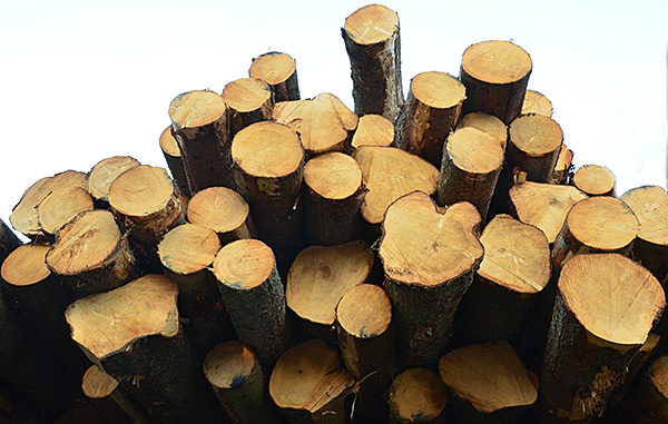 Här ligger nu mina kära granar i väntan på att bli plankor på någon brädgård i Sverige eller utomlands.