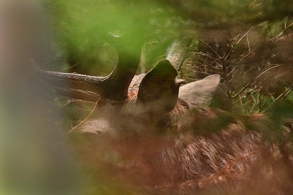2014-09-20 Kronhjortar på morgonen och trädsvamp  23, 600 px