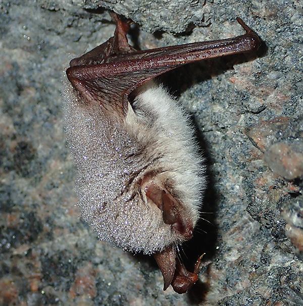 Här hänger den första fladdermusen. Vänster framben är vinklat åt sidan, det är från frambenen flyghuden är spänd ner till bakbenen men den går även runt kroppen via svansen.