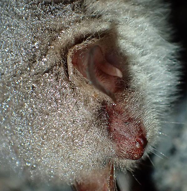 Här syns tragus i örat på fladdermusen. Det är en hudflik som används för att stänga öronöppningen. Den har lite olika utseende på olika fladdermusarter och kan vara till hjälp vid artbestämning, men det är ändå inte lätt att artbestämma dem. Jag skulle gissa på att det här kan vara en vattenfladdermus men jag är långt ifrån säker.