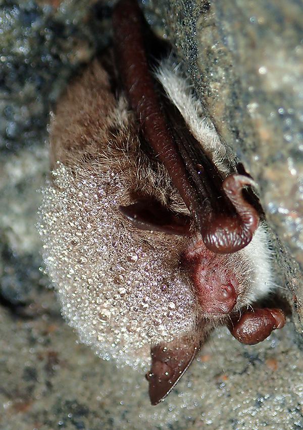 Här hänger en annan individ i en skreva lite längre in i grottan.
