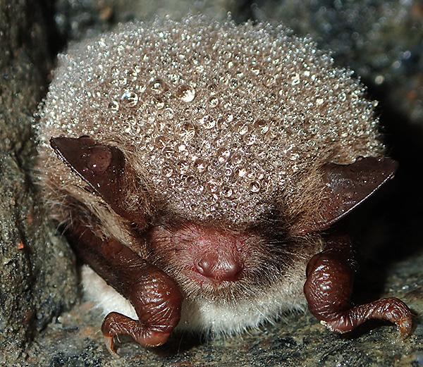 Visst ser han gosig ut med alla vattendropparna pärlande i pälsen. Fladdermössen väljer oftast fuktiga lokaler för övervintringen för att de inte ska torka ut. Tummen på frambenets hand syns också tydligt på var sida.