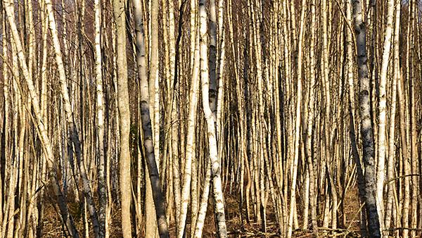 Ibland är det svårt att se skogen för alla träd som är i vägen.... Här växte ungbjörkarna tätt.