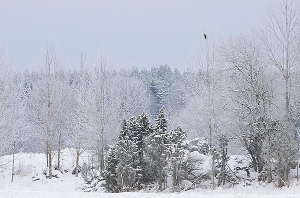 2016-01-23 Vintertur med isskorpor, ormvråk och hare 26b