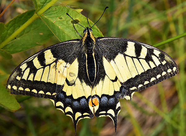 Fjärilskurs