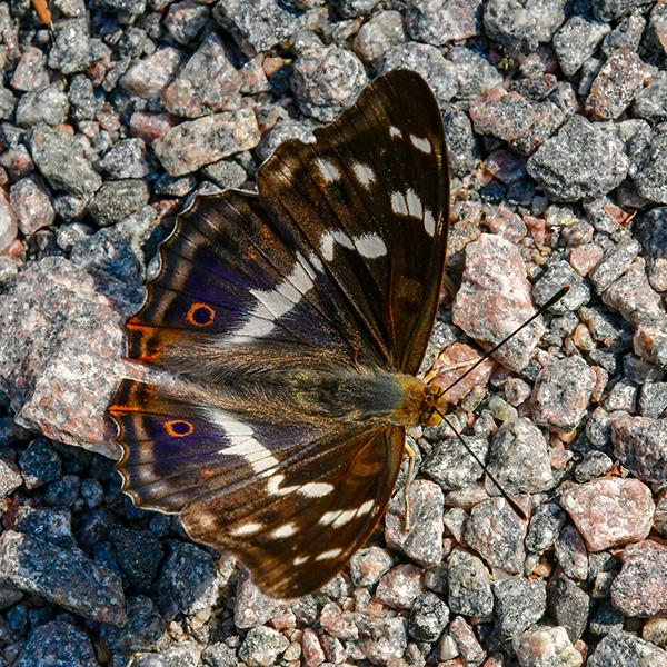 Trollsländor och fjärilar
