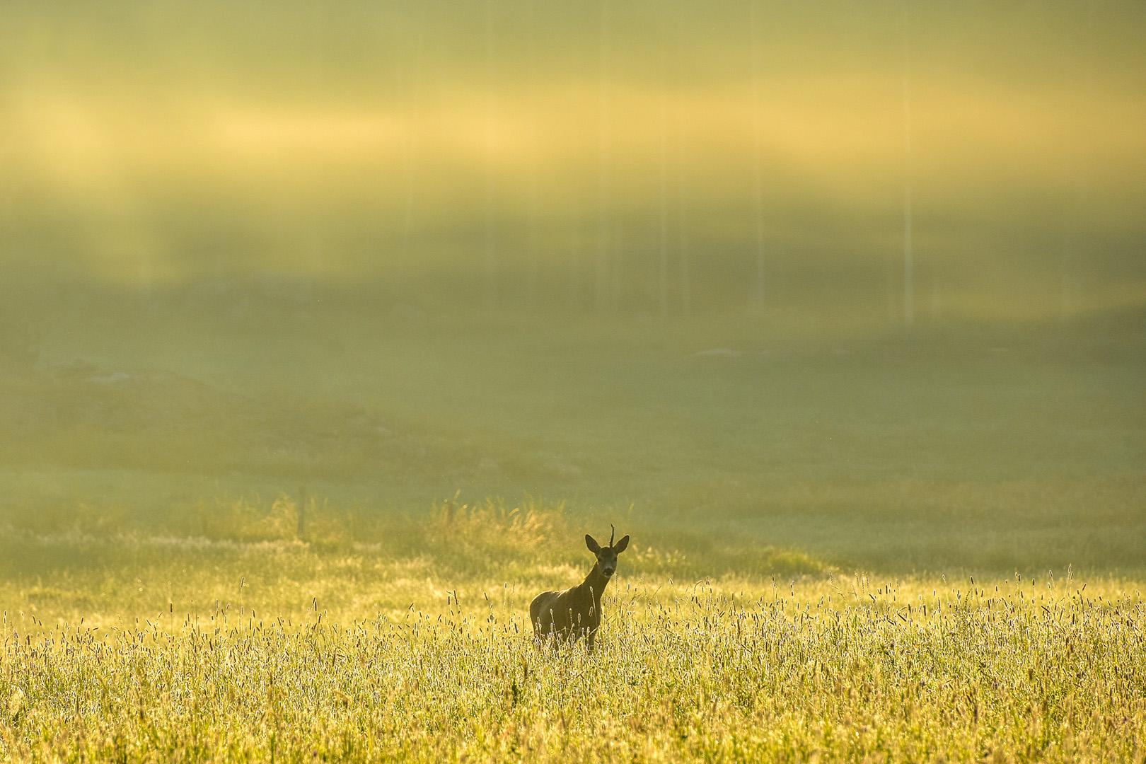 Gyllene dimma